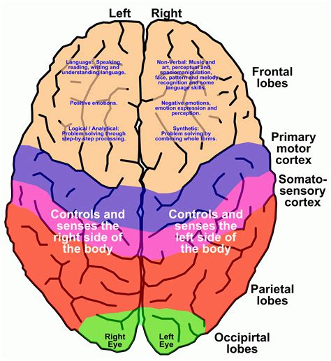 brain diagram quiz simple brain diagram anatomy organ