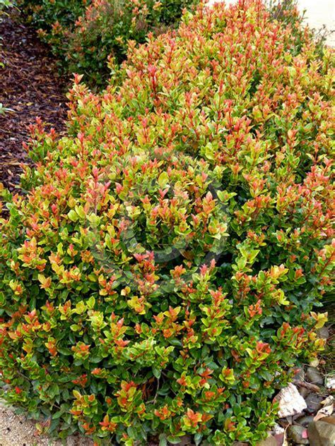 syzygium orange twist simon  plantman