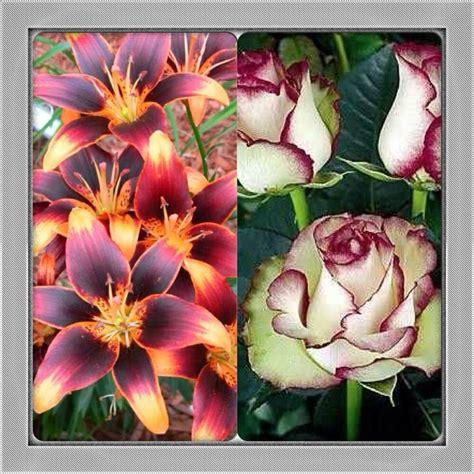 25 best ideas about lily 25 best ideas about lily starlette flower on pinterest