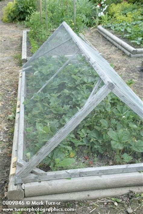 raised garden bed covers wire mesh cover over strawberries in raised bed vegetable