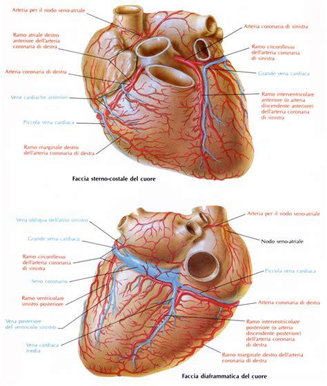 vasi coronarici arterie coronarie medicinapertutti it