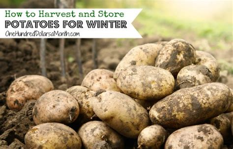 How To Store Potatoes From Garden how to harvest and store potatoes for winter one hundred