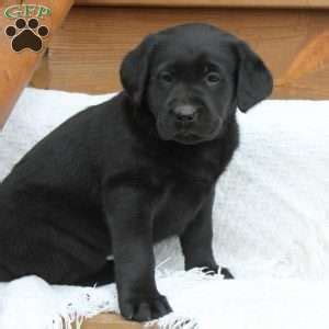 lab puppies for sale in pa black labrador puppies for sale in pa greenfield puppies