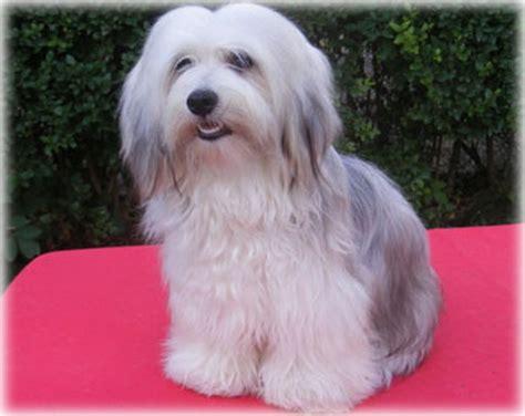 bichon havanese kennel kir 225 lyerdei b 225 rsonykennel bichon havanese kuty 225 k 233 s kutyakozmetika budapesten
