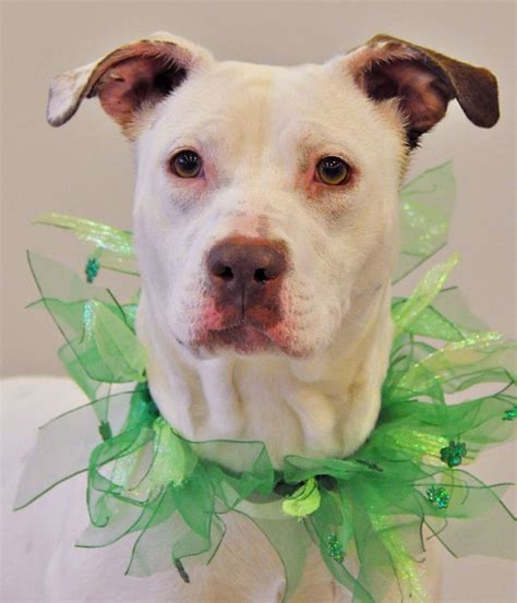 franklin county dogs 82 best images about st patty s day on shelters animal shelter and