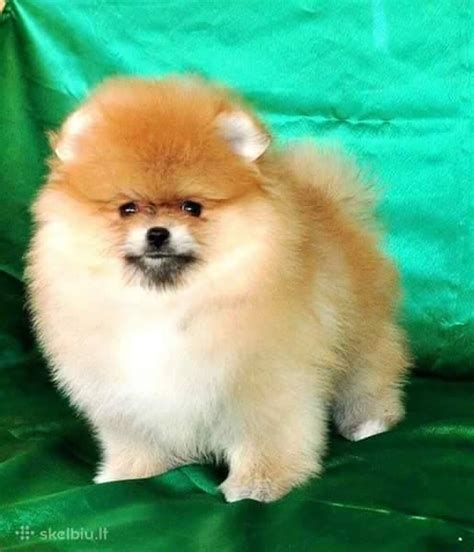 pom pom pomeranian for sale miniature pomeranians for sale rainham essex pets4homes