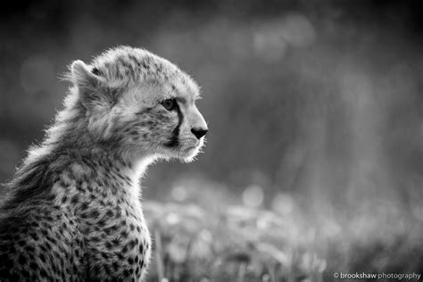 black and white cheetah cat predator section black and white hd wallpaper