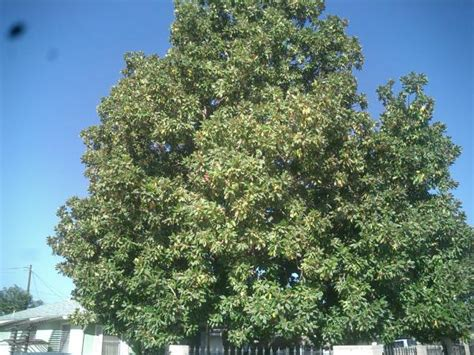 very old magnolia tree trimmed before after tree service bakersfield