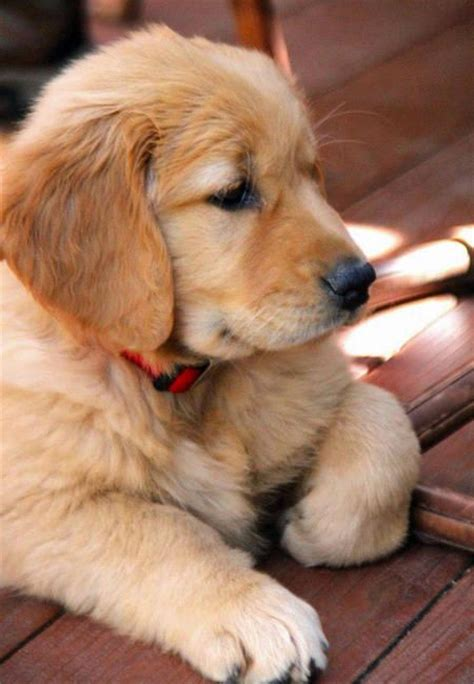 golden retriever day 1000 ideas about the golden on pupper doggo plus and