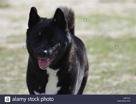 black akita puppy gorgeous black akita with a pink tongue sticking out stock photo royalty free