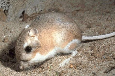 kangaroo rat wikipedia