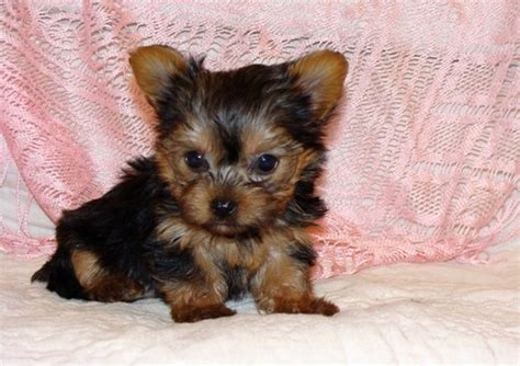 free yorkie puppies in tn pets greeneville tn free classified ads