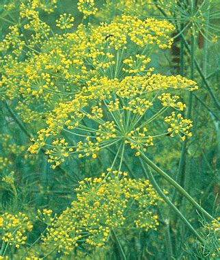 dill bouquet organic seeds  plants growing herb