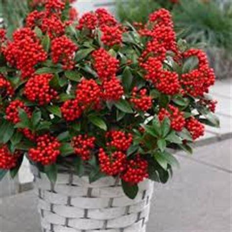 piante in vaso invernali 10 fiori da balcone invernali