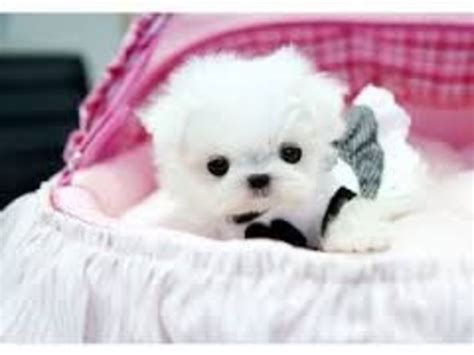 puppies for sale chico ca teacup maltese puppies for adoption animals chico california announcement 31171