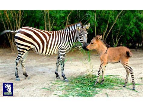 Karrewiet: Speciaal diertje geboren in Mexicaanse zoo | Ketnet