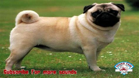 pug barking sounds peg barking sound effects