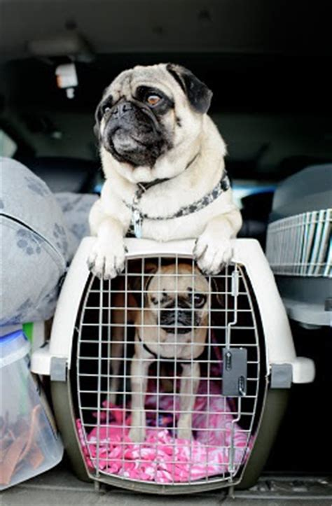 pugs on planes 1000 images about pugs and planes on