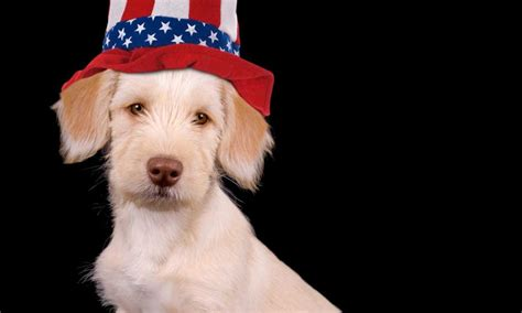 yankee doodle puppy pet safety tips during the july holidays utah family