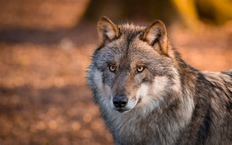 wallpaper abyss wolf beautiful gray wolf full hd wallpaper and background image