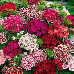 Annual Flowers That Like Full Sun - sweet william plant www coolgarden me