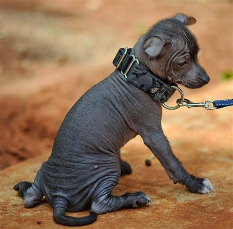 xoloitzcuintli puppies file xoloitzcuintli puppy jpg wikimedia commons