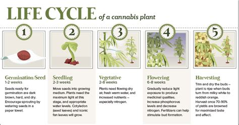 anatomy   cannabis plant   lifecycle