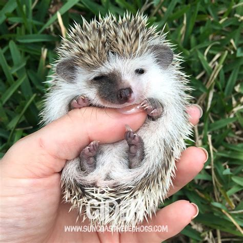 hedgehog for sale hedgehogs
