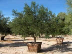 fruitless olive tree olea europea wilsonii trees for the landscape pinterest texas