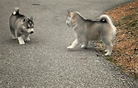 husky puppy gif image via wiffle gif