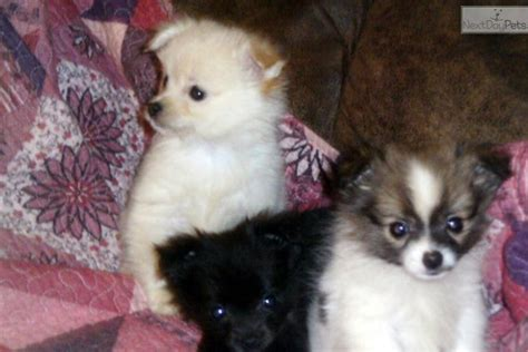 pomchi puppies for sale near me pomchi puppy for sale near huntsville decatur alabama 4289432d 14b1