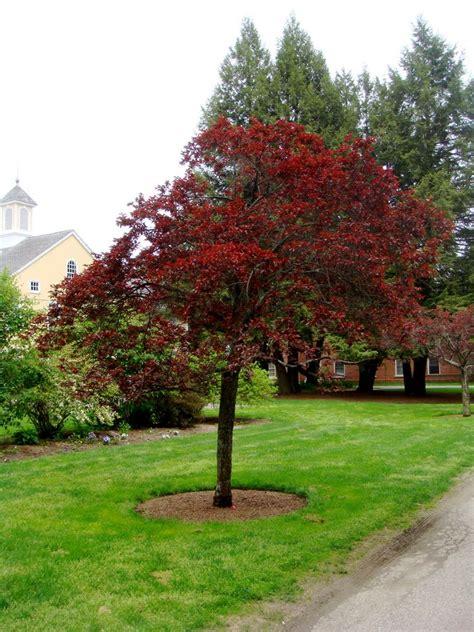 panoramio photo of newport plum tree