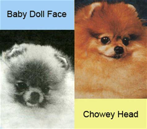 baby doll pomeranians baby doll pomeranian