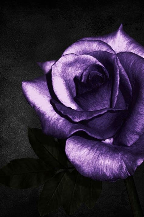 the gallery for gt pics of purple and black roses