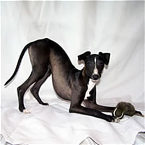italian greyhound colors about time italian greyhounds ig colors and markings