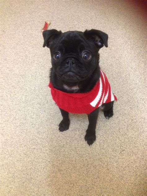 black pug for sale uk beautiful black pug for sale macclesfield cheshire pets4homes