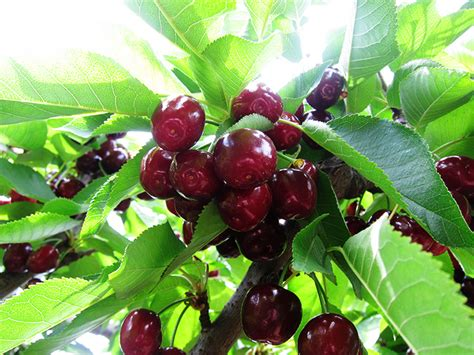 cherries on a tree suburban fairytale - Cherry Tree Not Producing Fruit