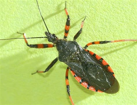 First Apartment Ideas by The Assassin Bug Facts Dangers Amp Prevention Apartment