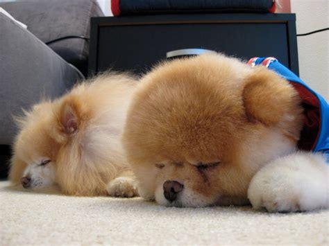 loulou pomeranian album boo le pomeranian le du shiba inu et des chiens japonais spitz
