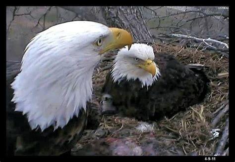 decorah eagles soar as eagles pinterest