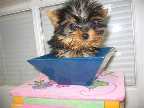 teacup yorkie for sale in birmingham al dogs birmingham al free classified ads