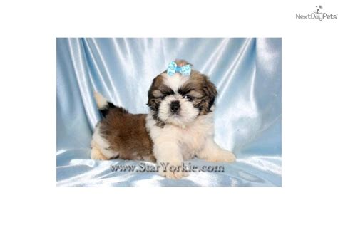 micro teacup shih tzu tiny teacup shih tzu puppy breeds picture