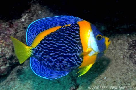 google images fish tropical fish google search fish pinterest the