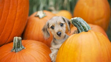 how much pumpkin to give a puppy how much pumpkin to give a step by step diy