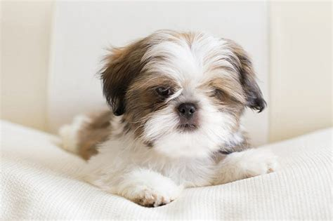 shih tzu traits characteristics of shih tzus cuteness