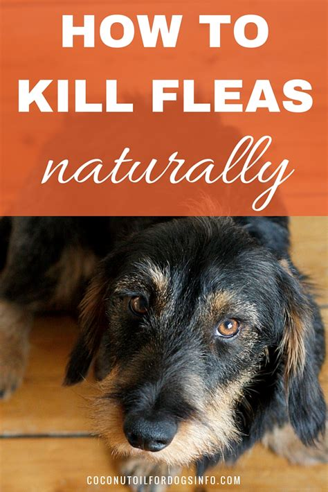 what can i buy to kill fleas in my house natural flea killer coconut oil kills fleas on the spot