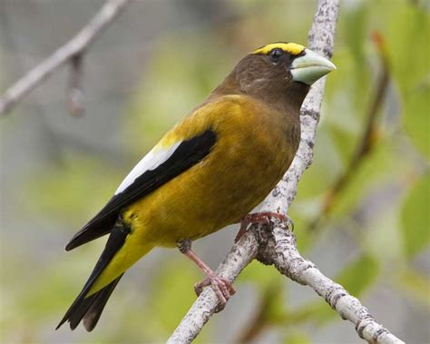 evening grosbeak audubon field guide