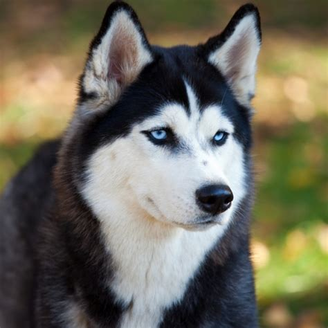 husky puppy facts siberian husky puppy siberian husky breed information