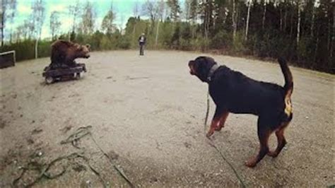 rottweiler attack in india rottweiler attacks in india