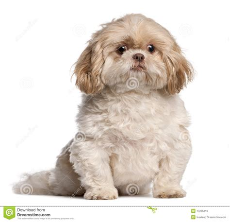 how to my shih tzu puppy to sit shih tzu sitting royalty free stock image image 17255616
